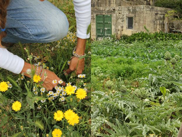artichoke field at Villa Bologna, Malta