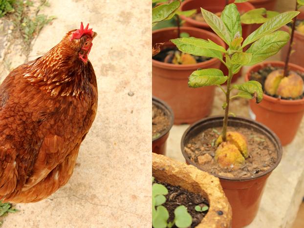 Chickens at Villa Bologna gardens, Malta