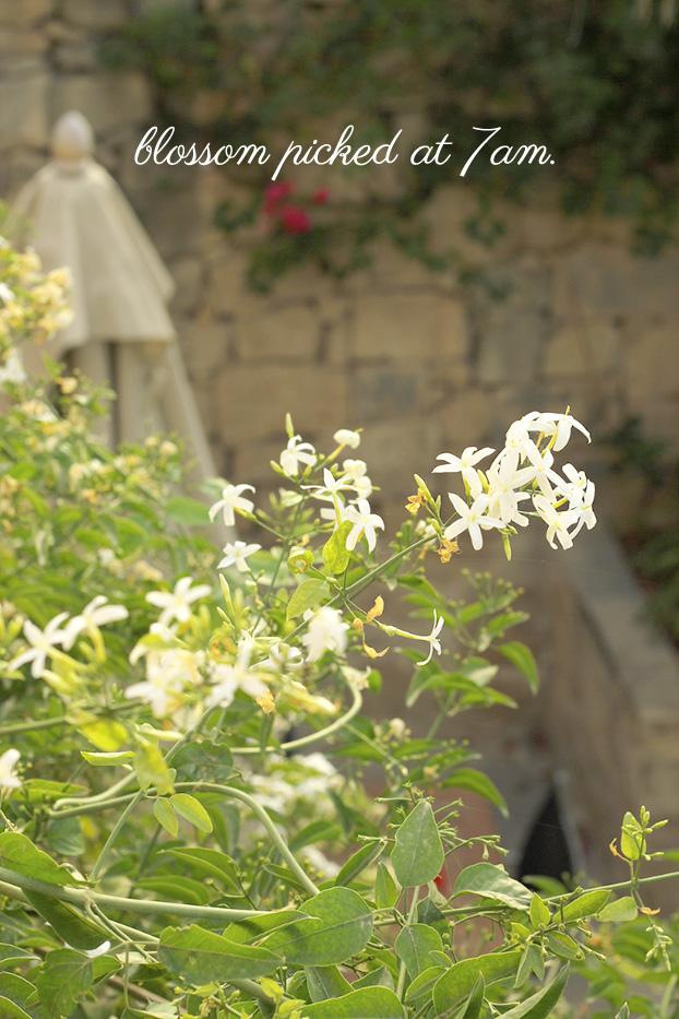 Mediterranean jasmine