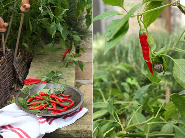 Garden chilis in Malta